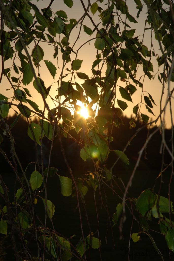 5 070613 Solnedgang gjennom bjørk