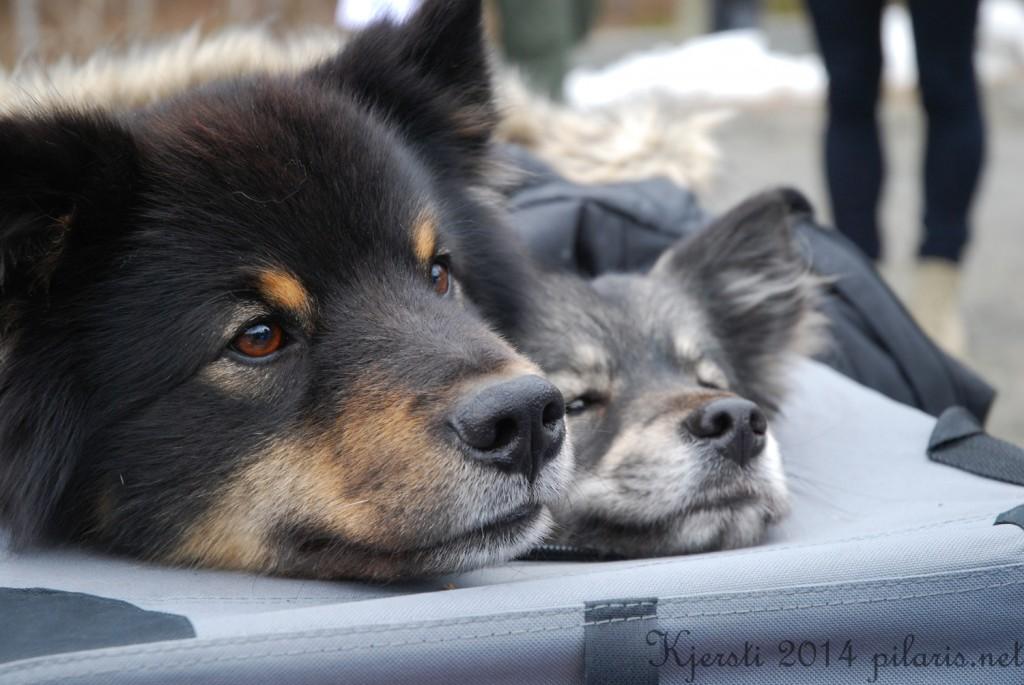 1 220314 Lapphundspesialen på Kongsberg - Storm og Nova