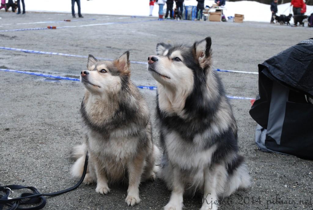 10 220314 Lapphundspesialen på Kongsberg - Molly og Warja