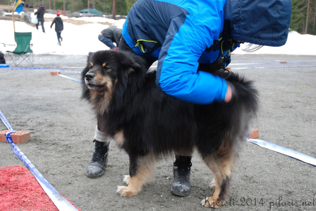 3 220314 Lapphundspesialen på Kongsberg - Storm børstes