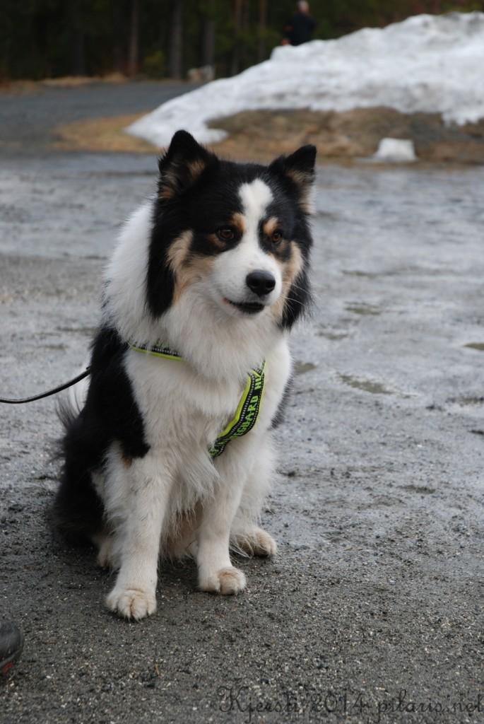 4 220314 Lapphundspesialen på Kongsberg - Terho