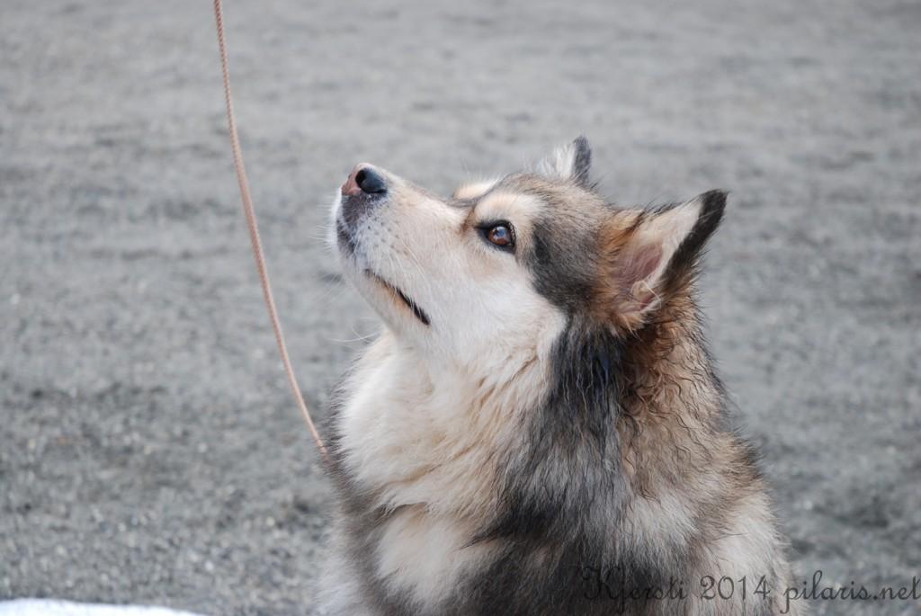 7 220314 Lapphundspesialen på Kongsberg - Molly