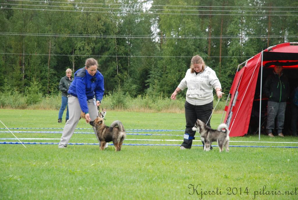 1 180814 170814 Lapphundspesialen i Aurskog - B Is For Brilliant og Woodshine's Aquata