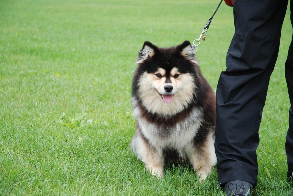 3 180814 170814 Lapphundspesialen i Aurskog - Modji