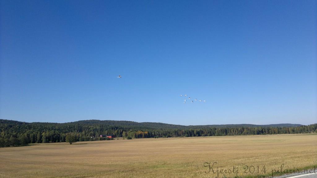 1 290914 Flyvende svaner