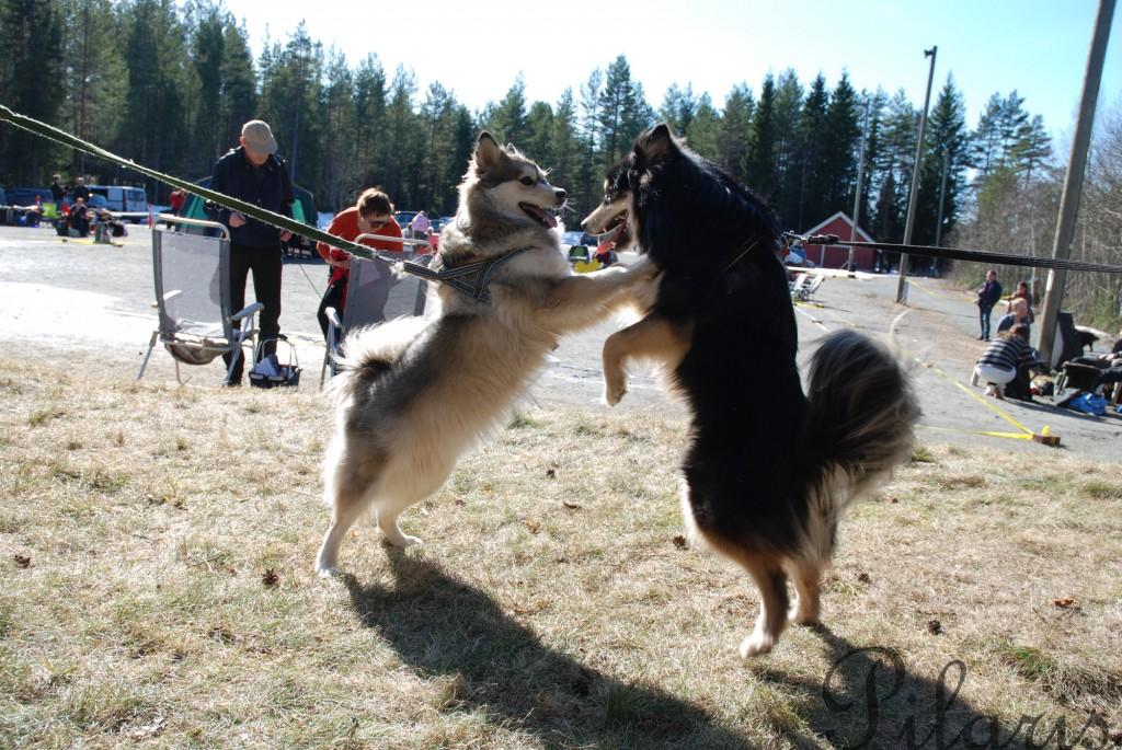 6 311212 240312 Lapphundspesialen i Kongsberg - Molly og Nairo