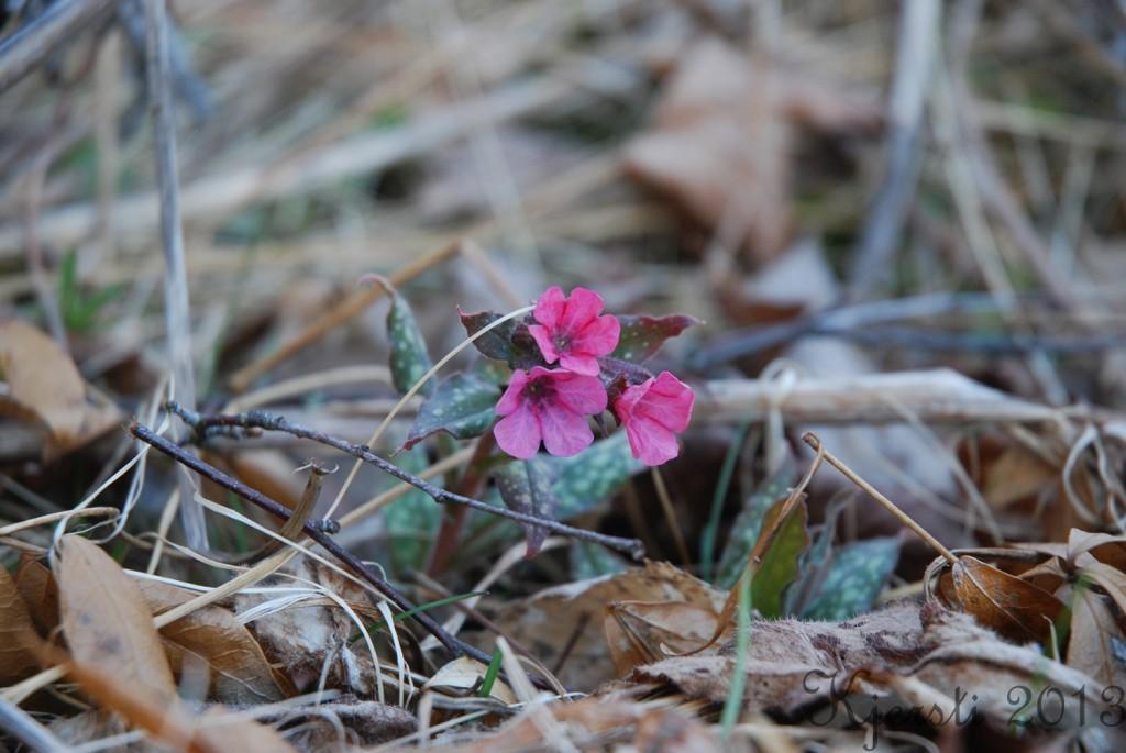 1 020513 Rosa blomst