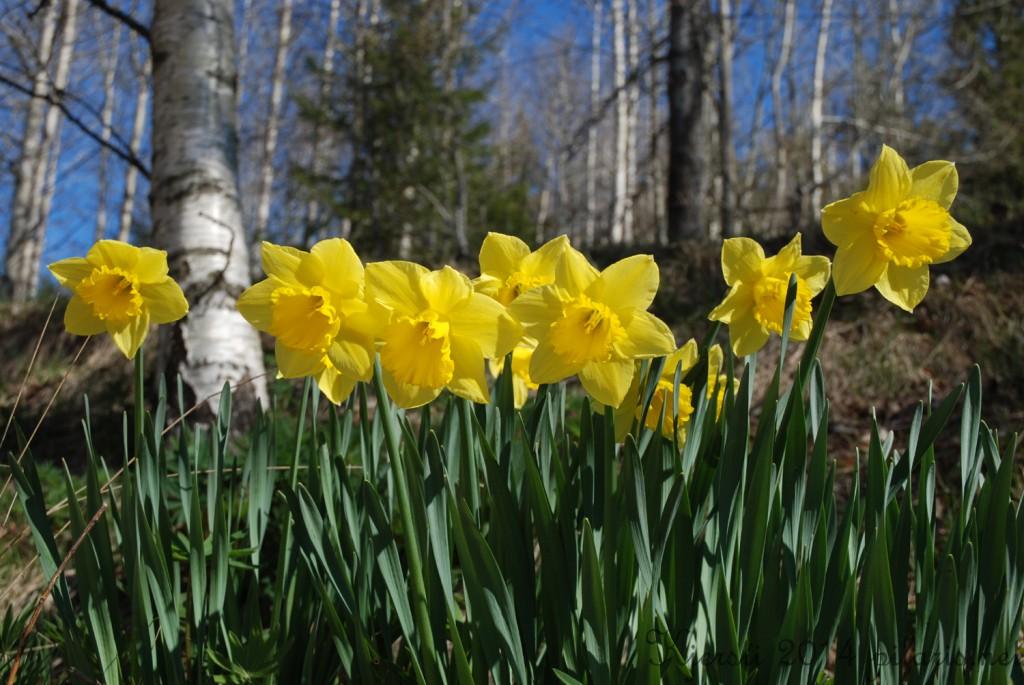 1 150414 Påskeliljer