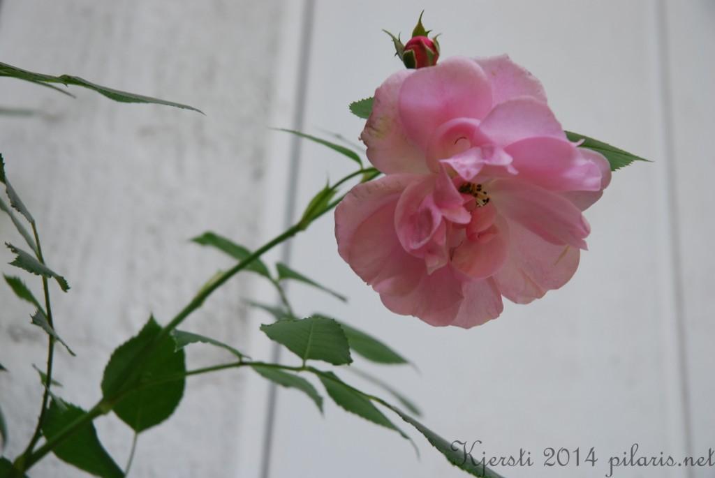 3 050714 Rosa klaserose ved inngangsdøra