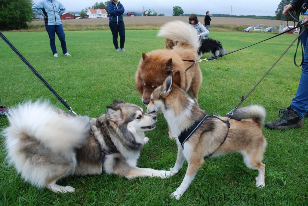 2 180814 170814 Lapphundspesialen i Aurskog - Molly, Nalle og Tassen