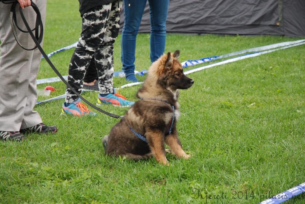 5 180814 170814 Lapphundspesialen i Aurskog - B Is For Brilliant